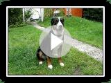 Grosser Schweizer Sennenhund mehr Swiss Mountain Dog Cattle Dog Swissy