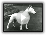 BULLTERRIER_xvid.avi anglais