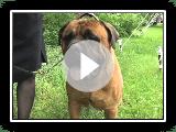 About the Bullmastiff
