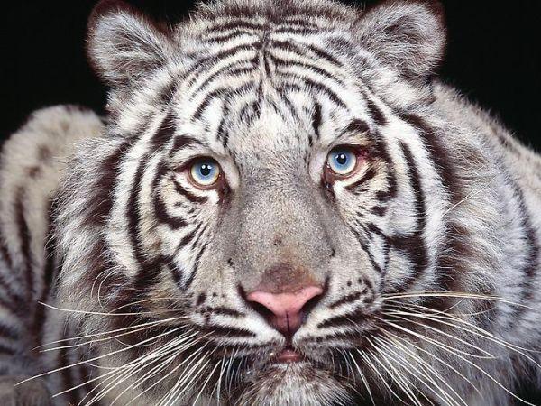 White Tiger Cubs  Price: 100 000 € - Exotic animals