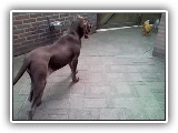 Bracco Italiano meets chicken
