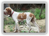 Bracco Italiano running (Fiona- 6 meses)  REAL RACE !!!  (Dog  X  Horse)