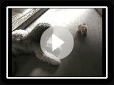 Portugiesischer Schäferhund