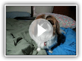 "My pekingese Bindee saying ""mama"""""