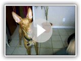 Pharaoh Hound Dog Tricks