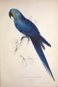 Ilustración Guacamayo Jacinto