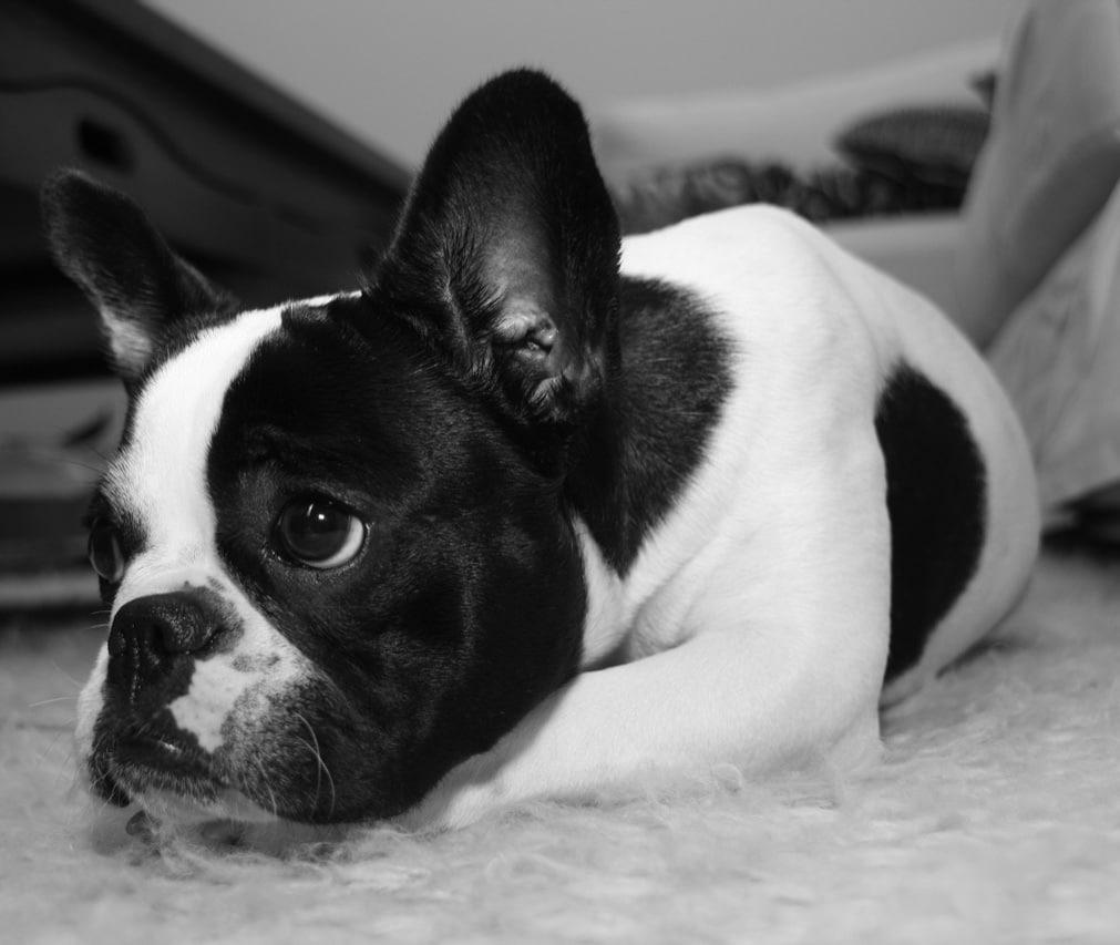 Criadores de Bulldog Francés en España