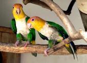 Weißbauch-Papagei