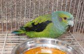 Papagei-Alinegro