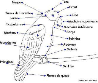 Anatomie-Parrot fr