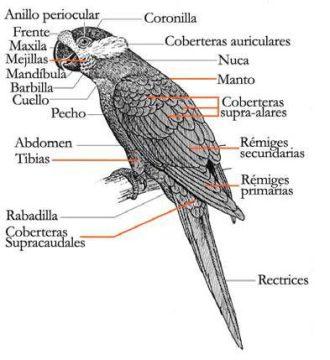 Anatomia-Loros