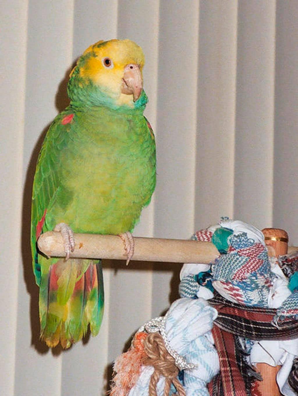 Papagei-Heteroclito