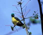 Blue-winged Racquet-tail