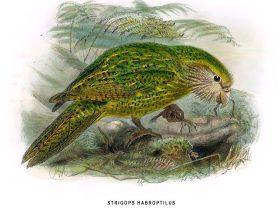 Ilustración Kakapo
