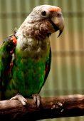 Papagaio-de-bico-grosso