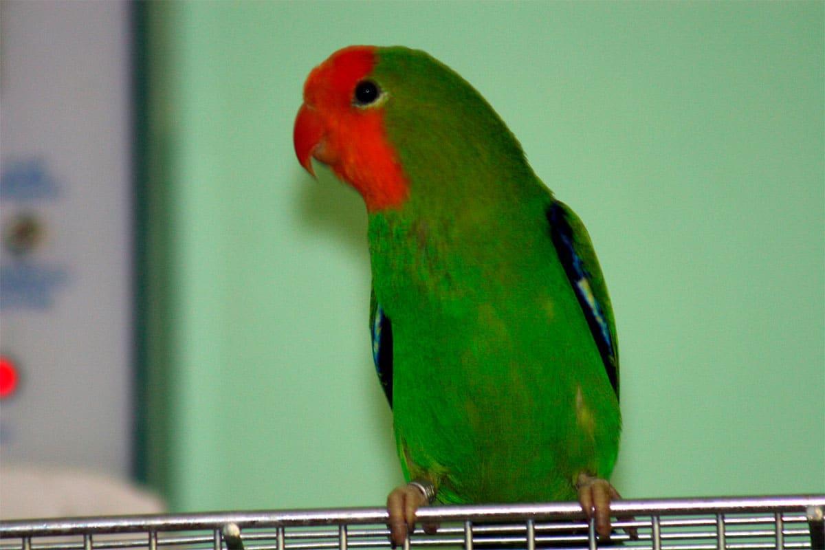 Inseparable A Tete Rouge Agapornis Pullarius Oiseaux Exotiques Animaux