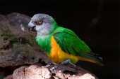 Periquito-massarongo