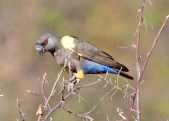 Rueppell's Parrot