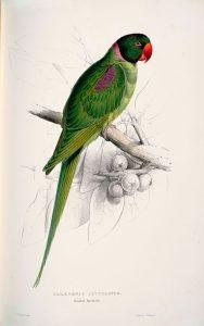 Abbildung Alexandrine Papagei