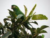 Papagaio-de-bochechas-douradas