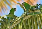 Periquito-de-hispaniola