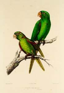 Ilustración de Psittacara euops y Psittacara chloropterus