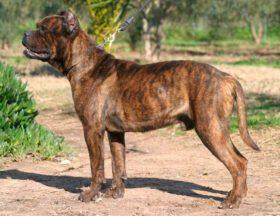Spanischer Mastiff