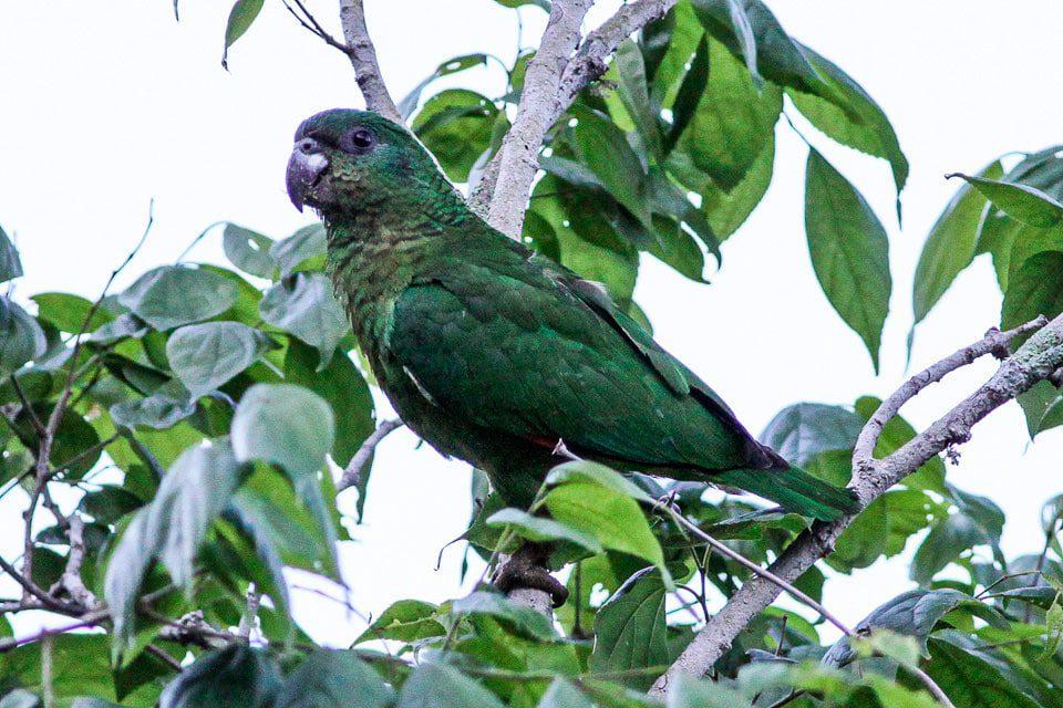 Black-billed Parrot