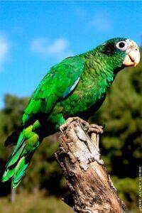 Papagaio-de-hispaniola