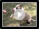 Hulk (American Pit Bull Terrier)