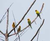 Sulfur-breasted Parakeet