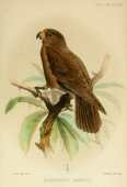 Papagaio de Seychelles