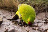 Reischek's Parakeet