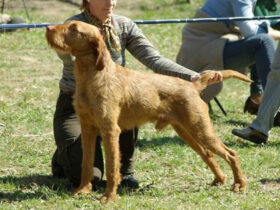 Italian Rough-Haired Hound