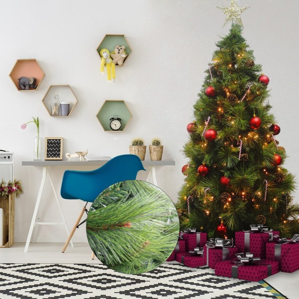 abaco giant needle pine christmas tree