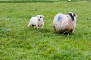 Sheep wander the countryside.