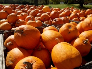 major_pumpkin_patch_3_pumpkins_fall