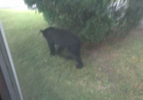 Bear spotted on North Thomas Street in Scottville.