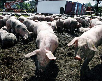 مطالبة الحكومة بـ3ملايين جنيه تعويضا بسبب ابادة الخنازير