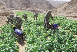 القوات المسلحة تشن الحرب علي الزراعات المخدرة في سيناء