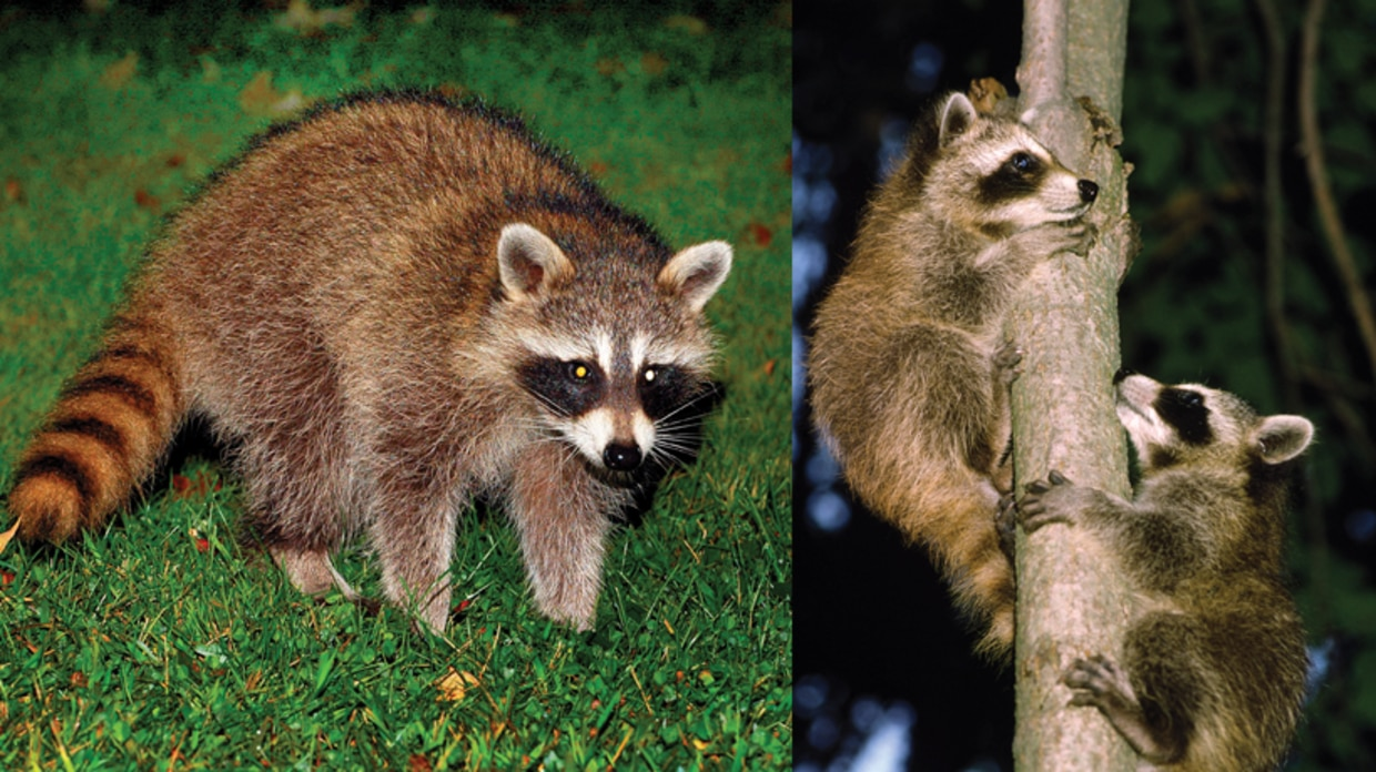 Learn about raccoons | Mass.gov