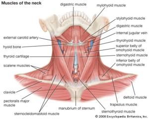 Muscle Charts  MassageLongBeachCA