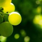 Huile végétale de massage aux pépins de raisin