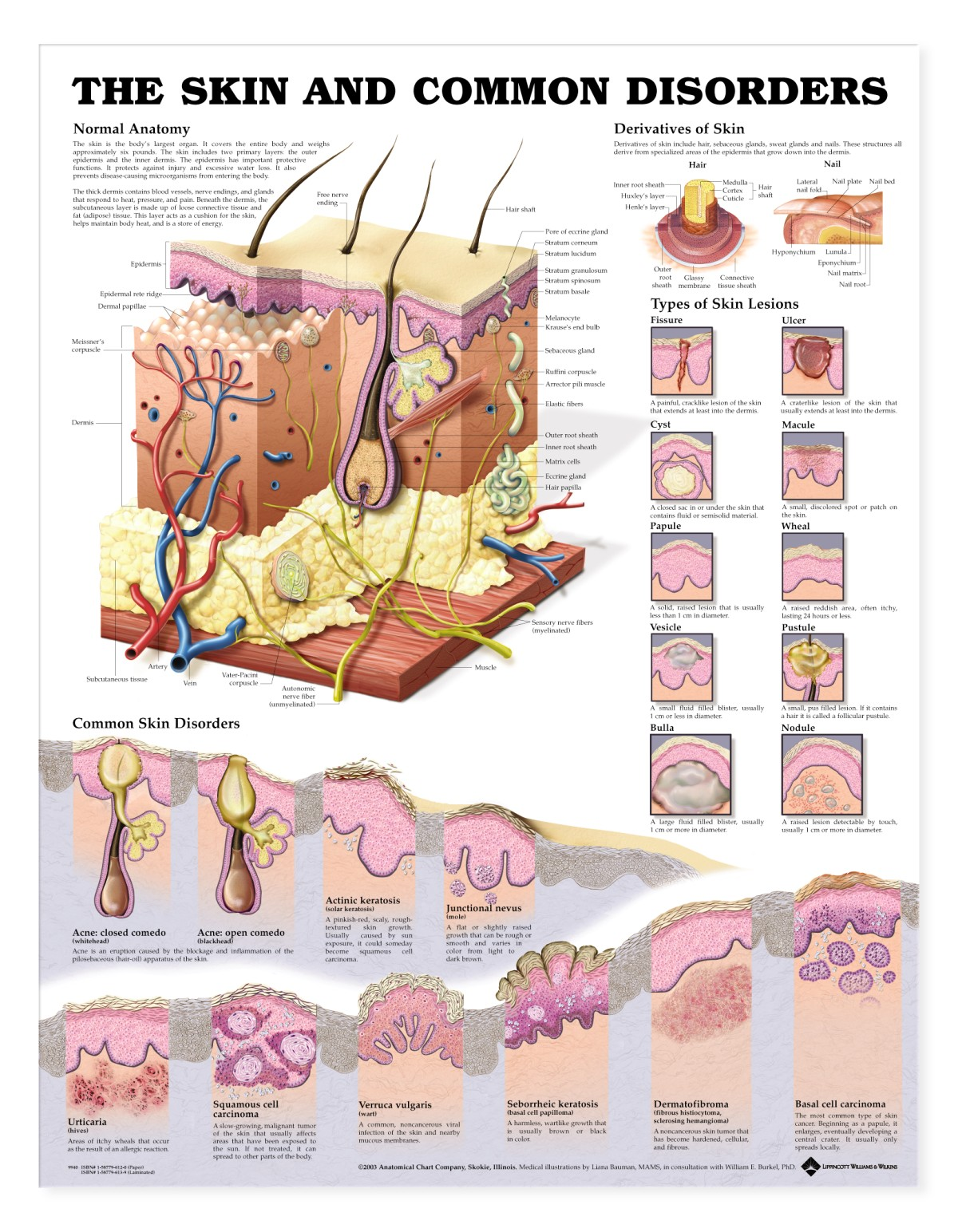 The Skin And Common Disorders