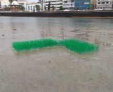 El Ayuntamiento capitalino colabora en la preservación de los sebadales de Arrecife
