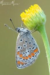 Polyommatus (Lysandra) Bellargus