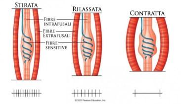 Infortuni muscolari - La contrattura