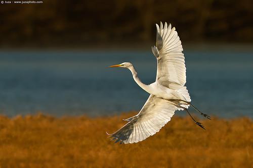 Juza-heron