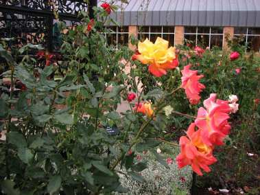 Yellow Rose - The Scent of Summer (1)