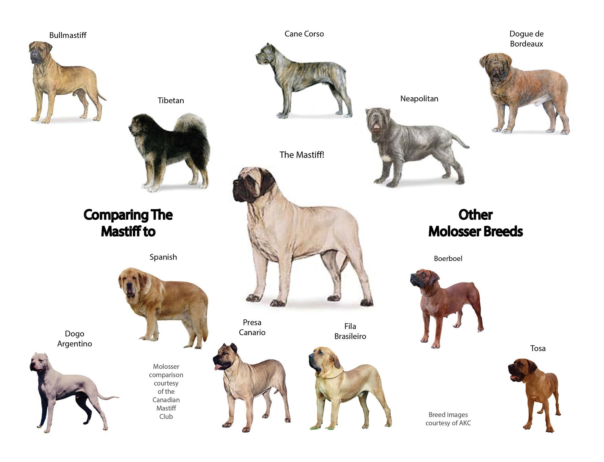 Bullmastiff Chart Mastiff Vs Weight English